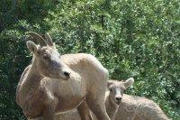 Female and baby Bighorn Sheep