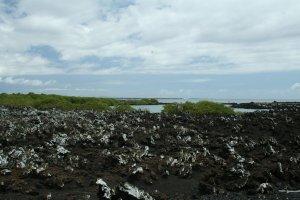 Lava rocks and mangroves