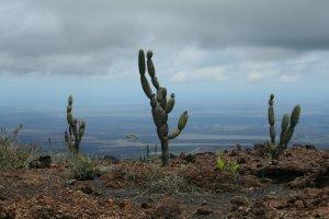 Cactus on Isabela
