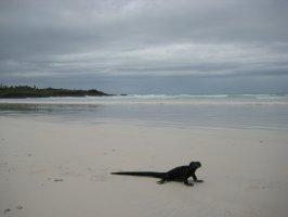 Iguana on Tortuga Beach