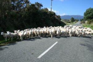 Sheep drive!