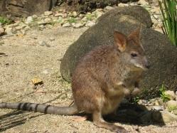 Wallaby (like a small kangaroo)