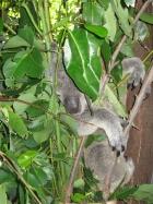 Koala hiding in eucalyptus tree