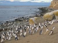 Punta Arenas Penguins