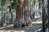 Sequoias_-_Kim