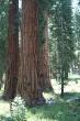 Sequoias_-_Robin